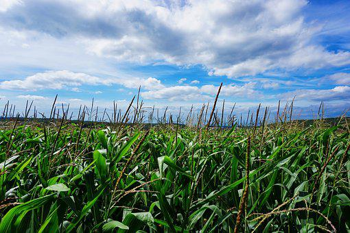Corn, Unfortunately Bach, Clouds, Field, Summer Sky