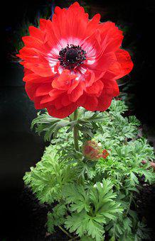 Anemone, Double, Red, Flower