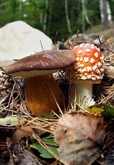 Mushroom, Fly Agaric, Autumn, Forest, Mushroom Picking