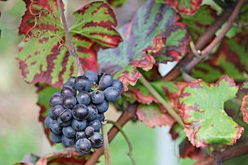 Grapes, Vine, Autumn, Read, Grapevine, Winegrowing