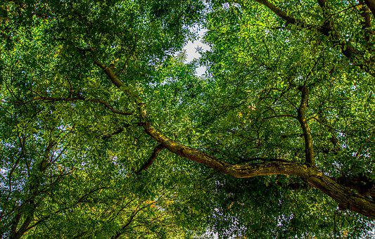 Tree, Crown, Branch, Green, Leaves, Nature, Forest, Log