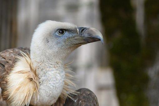 Vulture, Head, Close Up, Raptor, Bird, Scavenger