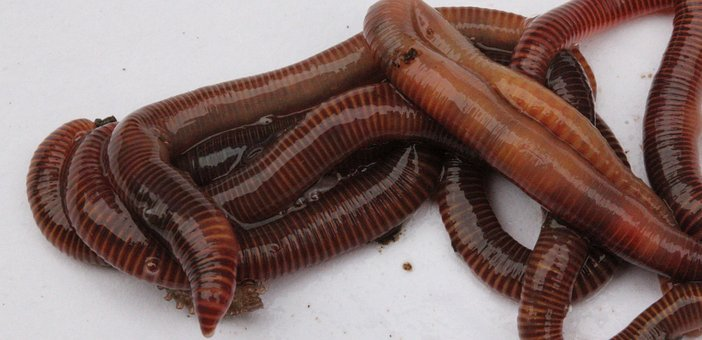 Worms, Garden, Compost, Lure, Nature, Soil, Earth, Dirt