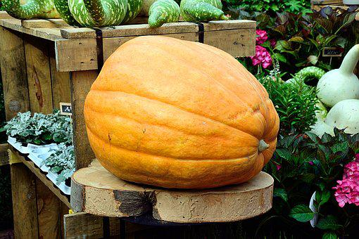 Pumpkin, Yellow, Large, Huge, Choice Choose, Plant