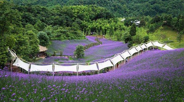 Verbena, Purple, Sichuan Huaxi Valley, Romantic