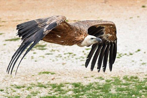 Vulture, Fly, Soil, Raptor, Bird, Scavenger