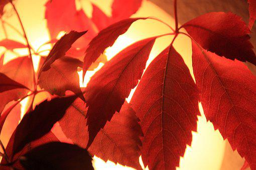 Red Leaves, Autumn, Leaves, Discoloration, Vine