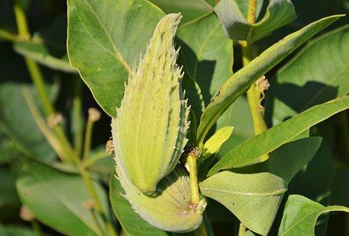 Silk Plant, Tubercular Silk Plant, Asclepias Tuberosa