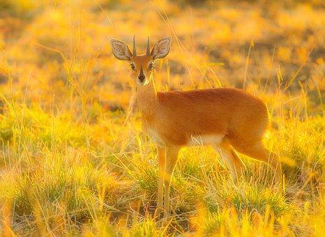 Buck, Wildlife, Nature, Wild, Mammal, Alert, Horn