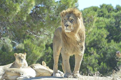 Lion, Sigean, Park, Wildlife, Nature, African, Animal
