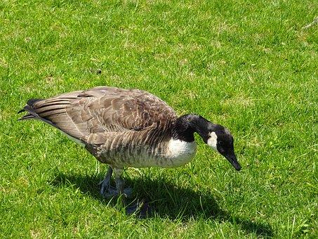 Duck, Grass, Nature, Animals