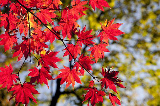 Maple Leaves, Autumn, Leaves, Foliage, Autumn Leaves