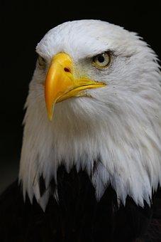 Bald Eagle, Eagle, Bald, Bird, Nature, Wild, Raptor