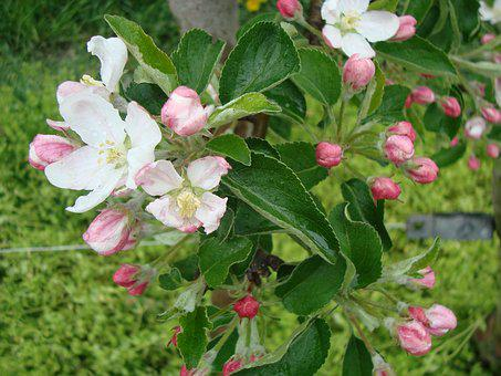 Blossom, Bloom, Pear, Pear Blossom, Blossom