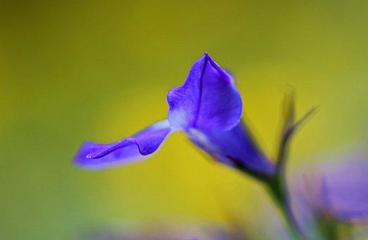 Flower, Blue, Nature, Blue Flowers, Garden, Blue Flower