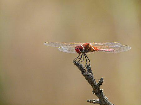 Red Dragonfly, Dragonfly, Branch, Sympetrum Meridionale