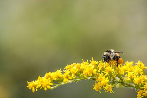 Bee, Bumble Bee, Insect, Nature, Bumble, Yellow, Buzz