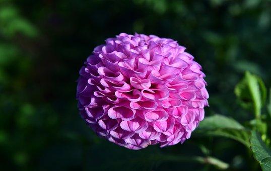 Dahlia, Flower, Dahlia Garden, Blossom, Bloom