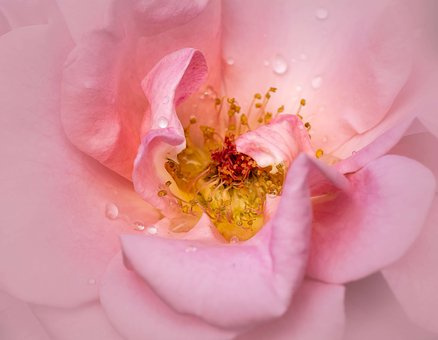 Rose, Pink, Coral, Macro Beautiful, Flower, Blossom