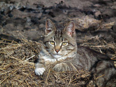 Cat, Haus Katzer, Mieze, Cat's Eyes, Animal, Cute