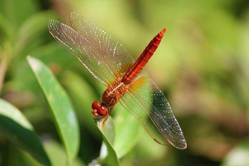 Dragonfly, Insect, Arthropoda, Anisoptera, Odonate, Red