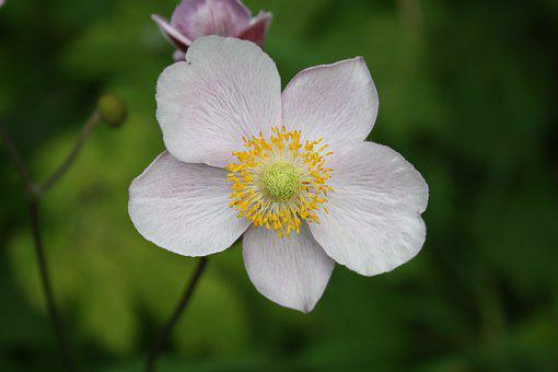 Anemone, Japanese, Flower, Plant, Pink, Garden, Botany