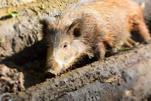 Boar, Wild, Nature, Animal, Wildlife Park, Mud, Forest