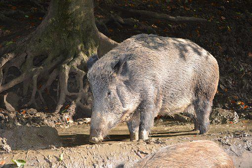 Boar, Forest, Nature, Animal, Zoo, Sow, Pig, Wild