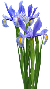 Dutch Iris, Plant, Bulb, Flower, Garden