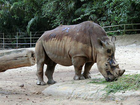 Rhino, Zoo, Animal