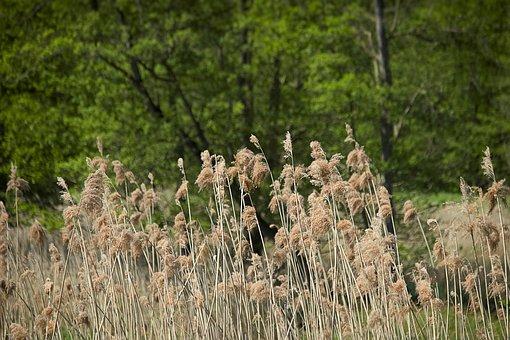 Spring, Sedge, Grass, Spike, Grasses, Nature