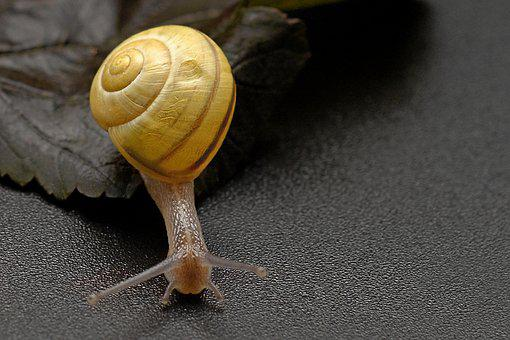 Snail, Crawl, Shell, Slowly, Mollusk, Close, Nature