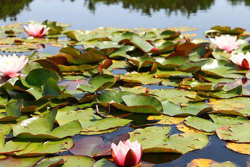 Water, Lily, Pond, Fish, Flower, Garden, Green, Nature