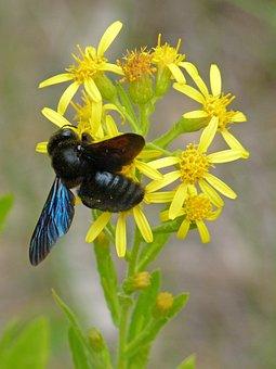 Drone, Drone Black, Libar, Xylocopa Violacea, Bumblebee