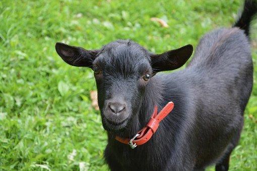 Goat, Young Goat, Black Brown Auburn, Animal, Nature