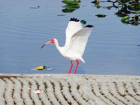 Bird, White, Crane, Wildlife, Fauna, Fly, Beak, Animal