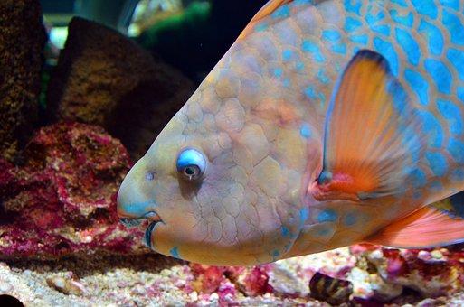 Parrot Fish, Fish, Aquarium, Tropical, Underwater, Sea
