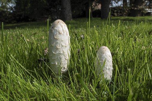 Schopf Comatus, Coprinus Comatus, Asparagus Mushroom
