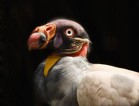 Vulture, King Vulture, Colour, Beautiful, Wildlife