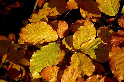 Autumn, Beech Leaves, Leaves, Beech, Fall Foliage