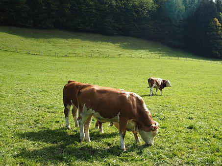 Cow, Beef, Dairy Cattle, Milk, Pasture, Animal, Summer