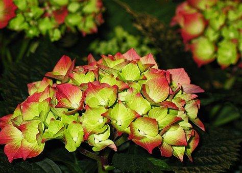 Hydrangea, Garden, Blossom, Bloom, Flower, Nature