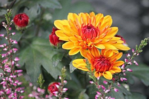Chrysanthemums, Composites, Blossom, Bloom, Flower