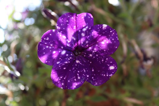 Petunia, Violet, Blue, White, Points, Flowers