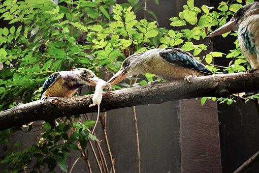 A Kookaburra, Bird, Booty, Fight, Mouse