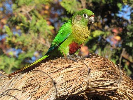 Parakeet, Bird, Brazilian Bird, Birdie, Environment