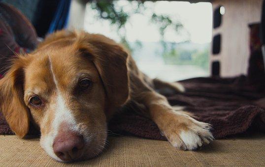 Dog, Face, Retriever, Nova Scotian Retriever, Cute