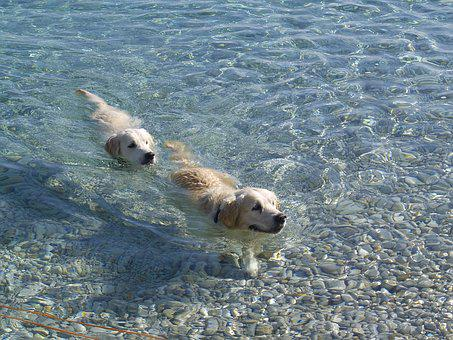 Dogs, Sea, Summer, Golden Retriever