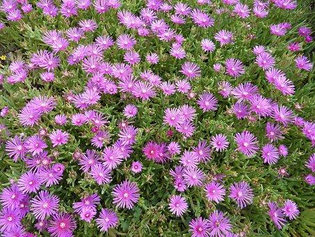 Flower, Pink Flower, Parterre Fleuri, Massif Fleuri