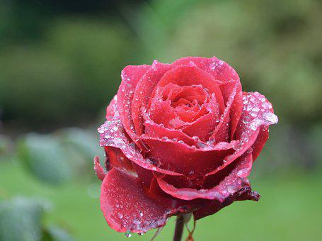 Flower, Red Rose, Droplets Of Rain, Red Flower